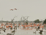 A Group of Caribbean Flamingos Among Dead Mangrove Trees