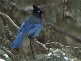 Steller's Jay  Cyanocitta Stelleri  in Winter  in Northwest Wyoming