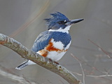A Female Belted Kingfisher  Megaceryle Alcyon  Perched on a Branch