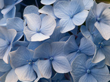Close Up of Blue Mophead Hydrangea Flowers  Hydrangea Macrophylla