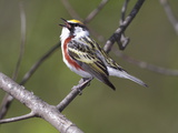 A Male Chesnut-Sided Warbler  Dendroica Pensylvanica  Singing
