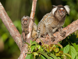 Common Marmoset and Juvenile  Callithrix Jacchus  Resting in a Tree