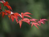 Japanese Maple Leaves in Spring