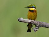 Portrait of a Little Bee-Eater Bird Perched on a Branch
