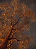 Stars Shine Through Campfire Lit Acacia Tree Branches at Night