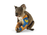 A Koala Recuperates in a Hospital after Being Struck by a Car
