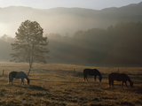 Horses Grazing in a Field with Morning Mist