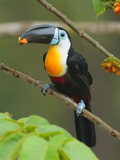 A Channel Billed Toucan  Ramphastos Vitellinus  Eating Fruit