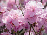 Close Up of Weeping Cherry Blossoms  Prunus Subhirtella Var Pendula