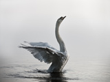 A Mute Swan  Cygnus Olor  Stretching its Wings in the Morning Mist