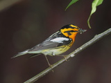 A Male Blackburnian Warbler Rests with a Mouthful of Caterpillars