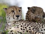 A Pair of Cheetahs  Acinonyx Jubatus  Resting
