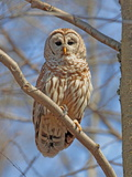A Barred Owl  Strix Varia  Perched on a Tree Branch