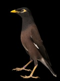 A Common Myna or Indian Myna  Acridotheres Tristis