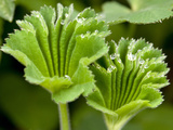 Lady's Mantle Young Leaves Opening Up and Coated with Dew