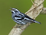 A Black and White Warbler  Miniotilta Varia  Singing on a Tree Branch