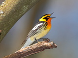 Male Blackburnian Warbler  Dendroica Fusca  Sings a Territorial Song