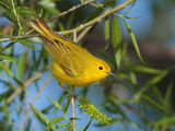 A Male Yellow Warbler Dendroica Petechia Perched on a Tree Branch