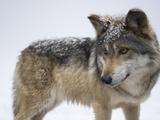 A Mexican Gray Wolf, Canis Lupus Baileyi Papier Photo par Joel Sartore