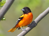 A Baltimore Oriole  Ictarus Galbula  Perched on a Tree Branch