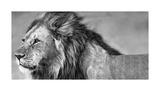 Le regard du lion Giclée par Xavier Ortega
