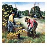 """Picking Grapefruit ""February 1  1942"