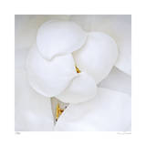 Magnolia Flower Abstract No 236