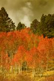 Portrait of Aspens in Autumn