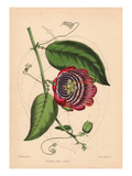 Winged-Stem Passion Flower with Crimson  Purple and White Flowers