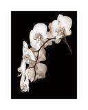 Orchid Dance II