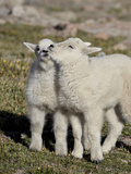Two Mountain Goat Kids Playing  Mt Evans  Arapaho-Roosevelt Nat'l Forest  Colorado  USA