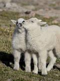Two Mountain Goat Kids Playing, Mt Evans, Arapaho-Roosevelt Nat'l Forest, Colorado, USA Papier Photo par James Hager