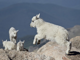 Mountain Goat Kid Jumping  Mt Evans  Arapaho-Roosevelt Nat'l Forest  Colorado  USA