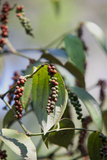 Peppercorn Plant  Kerala  India  Asia