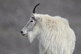Mountain Goat (Oreamnos Americanus), Mount Evans, Arapaho-Roosevelt National Forest, Colorado, USA Papier Photo par James Hager