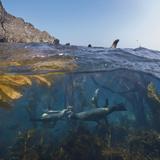 Underwater Photo of Kelp and Sea Lions, Anacapa, Channel Islands National Park, California, USA Papier Photo par Antonio Busiello