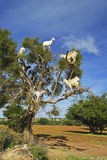 Goats on Tree, Morocco, North Africa, Africa Papier Photo par Jochen Schlenker