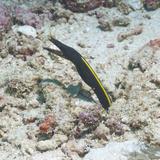 Blue Ribbon Eel (Rhinomuraena Quaesita) Juvenile, Southern Thailand, Andaman Sea, Indian Ocean Papier Photo par Andrew Stewart