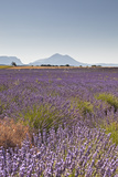 Lavender Growing on the Plateau de Valensole in Provence  France  Europe