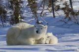 Polar Bear (Ursus Maritimus) and Cubs, Wapusk National Park, Churchill, Hudson Bay, Canada Papier Photo par David Jenkins