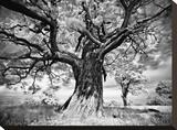 Portrait of a Tree  Study 2