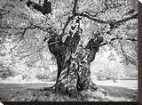 Portrait of a Tree  Study 18