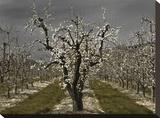 Pear Blossoms Tableau sur toile par David Winston