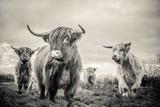 Highland Cattle Papier Photo par Mark Gemmell