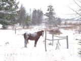 A Horse with a Dusting of Snow on His Back During a Snowstorm