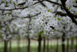 Pear Blossoms in Full Bloom Brighten Rows of Nursery Trees
