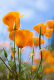 California Poppies in the Gardens of Royal Roads University