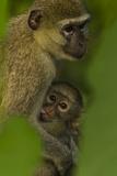 A Young Vervet Monkey Nurses with it's Mother