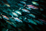 A School of Mackerel