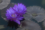 A Violet Water Lily Flower Against Gray-Green Lily Pads and Water